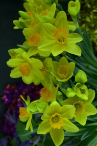 daffodils for spring philadelphia flowers shops center city delivery available