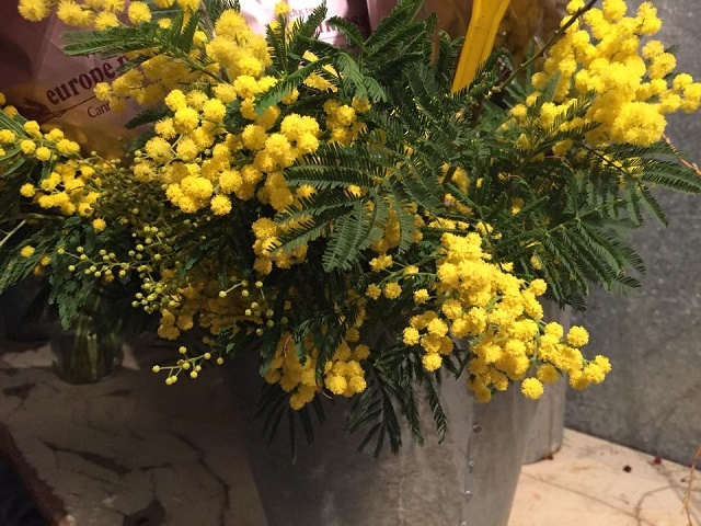 yellow mimosa acacia from france evantine design